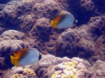 Corallimorph (large)